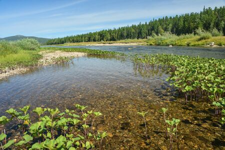 Summer river taiga landscape. The Shchugor River flows through the territory of the Yugyd Va National Park.