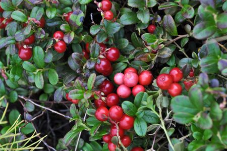 Ripe cranberries. Bushes of cranberries in late summer on the Taimyr Peninsula.