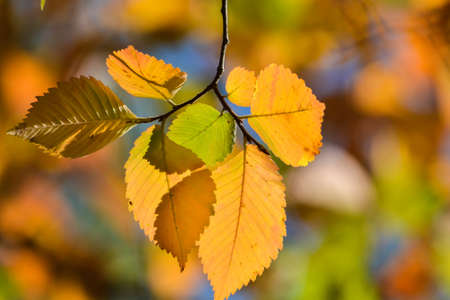 Autumn beech leaves. October is the time of falling leaves.