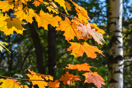 Autumn maple leaves. October is the time of falling leaves.