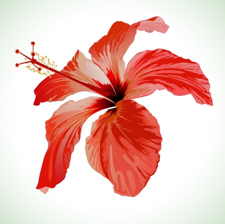macro flower: Hibiscus flower vector illustration, red beautiful plant on white background