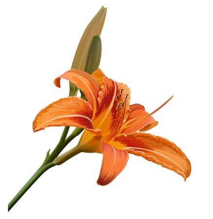 abloom: vector de la flor del lirio aisladas sobre fondo blanco Vectores