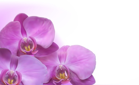 purple orchid: Orchid flower background