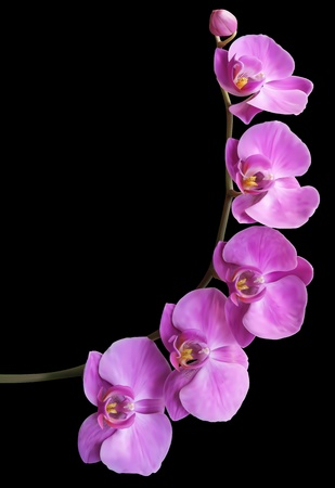 orchid branch: Flower Orchid frame background