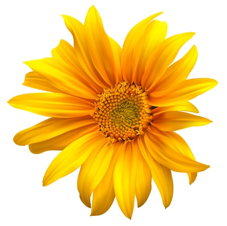 sunflower isolated: Girasol vector de flores Vectores