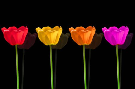 Vector Tulips flowers Vector