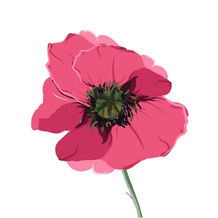 Vector illustration of pink poppy Vector