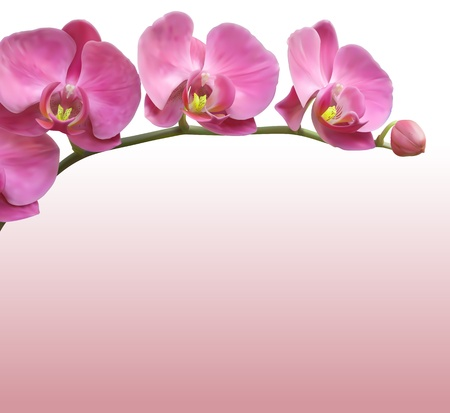 pink orchid: Orchid flower vector background