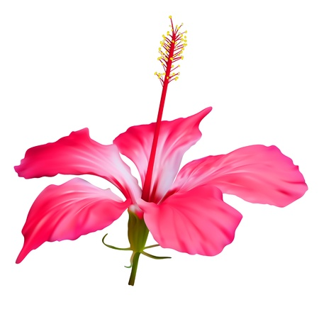 Flower red hibiscus isolated on white background Illustration