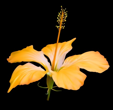 hibiscus flowers: Yellow Hibiscus Flower Blossom on black background