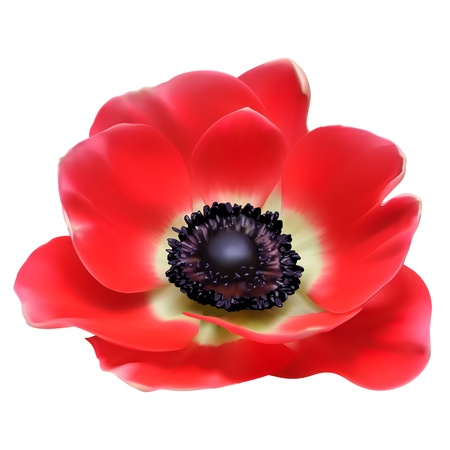 poppy leaf: Red flower spring blossom seasonal illustration. Anemone isolated on white Illustration