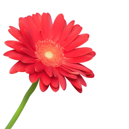 Red flower on white background. Natural elegance illustration design with blooming gerbera Vector