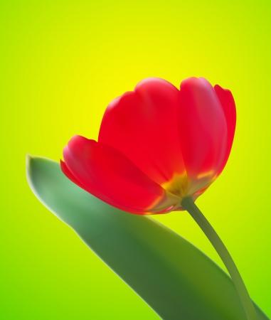 tulipe rouge: Fond rouge tulipe