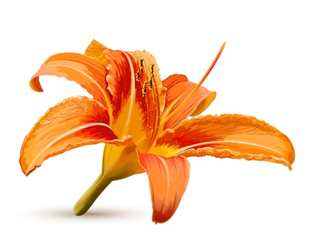 lily flower: Lily  flower blossom Illustration