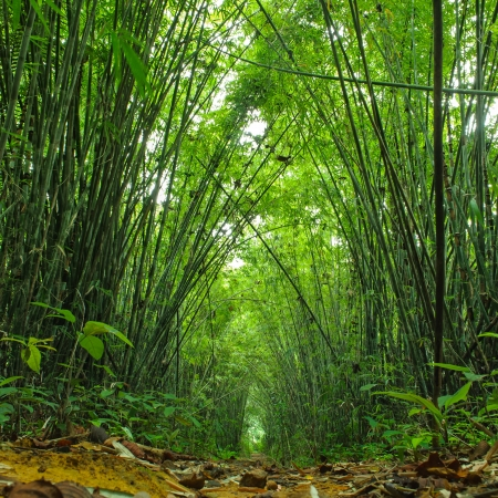 dense forest: Bamboo forest  Trees background inside tropical jungle Stock Photo