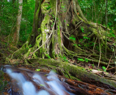 deep roots: Tree old and big in jungle forest