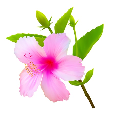 Hibiscus tropical flower. Vector plant blossom