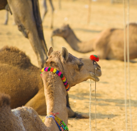 Camel animal adventure background Stock Photo - 16712908