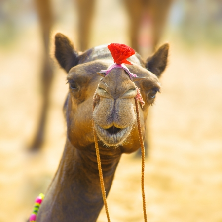 sahara: Camel animal adventure background Stock Photo