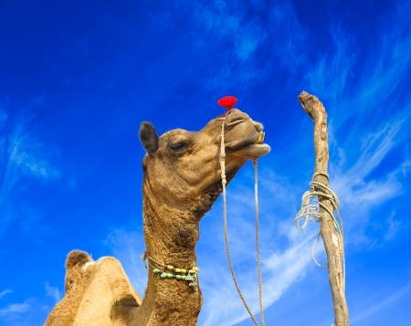 Camel animal adventure background Stock Photo - 16712903