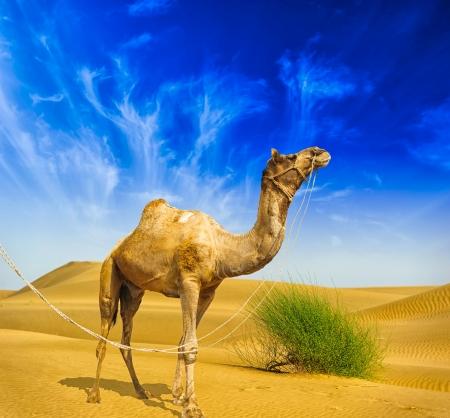 Woestijnlandschap zand, camel en blauwe hemel met wolken Reizen achtergrond avontuur Stockfoto