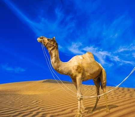 camel in desert: Desert landscape  Sand, camel and blue sky with clouds  Travel adventure background