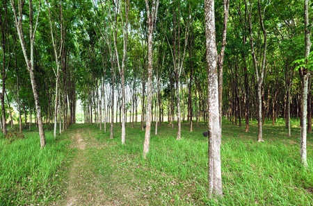 Rubber tree natural latex extraction  Hevea plants in Thailand  photo