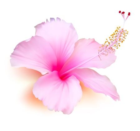 ibiscus: Fiore. Ibisco tropicale, pianta, natura, illustrazione Vettoriali