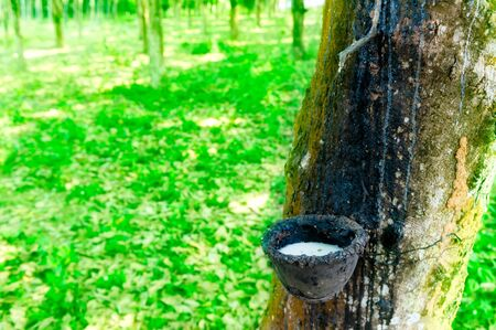 rubber plant: Rubber tree latex plant. Natural latex production in Thailand hevea plantation