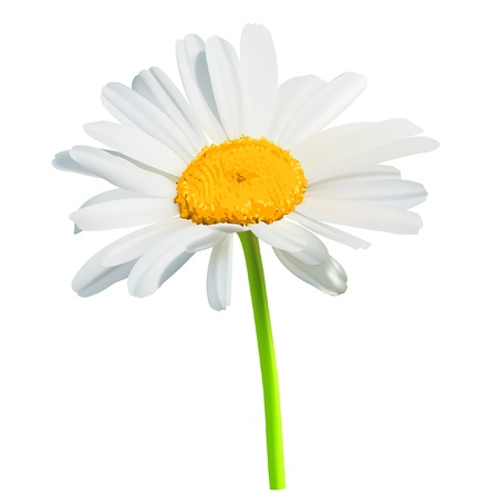 white daisy: flower daisy Illustration