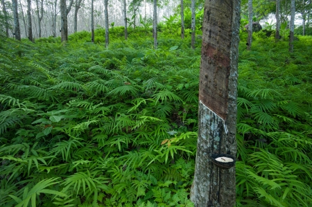 Latex rubber tree plantation in tropical forest in Asia photo