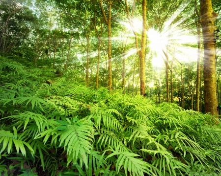 rainforest: Sun rays in forest