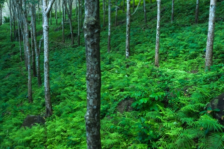 Trees green nature background  Latex rubber trees plantation in tropical forest photo