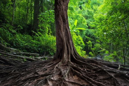 jungle: Old tree with big roots in green jungle forest