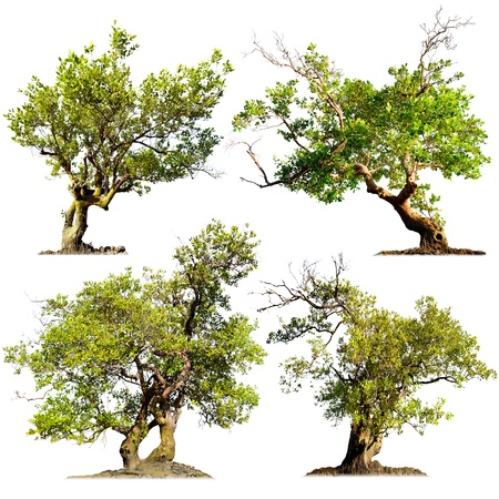 arboles frondosos: Los árboles aislados en el fondo blanco verde naturaleza plantas elementos de diseño