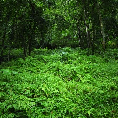 rainforest background: Green nature background  Jungle tropical forest wild landscape
