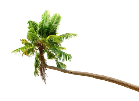 Palm tree isolated on white background. Green coconut palmtree tropical nature plant photo