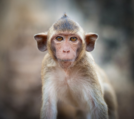 buddhist structures: Lopburi Thailand. Monkey ( Crab-eating or Long-tailed macaque ) in Prang Sam Yot temple. Khmer ancient Buddhist pagoda ruins are famous thai tourist travel destination.