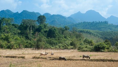 Agriculture in Asia. Wild forest, mountains and farm animals in Laos photo