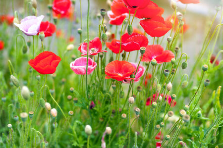 Poppies flowers on summer meadow. Soft focus nature background photo