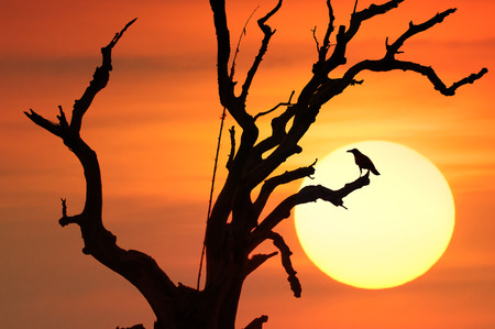Dramatic conceptual background of black crow bird on branches of old dead tree against sunset sun and orange sky photo