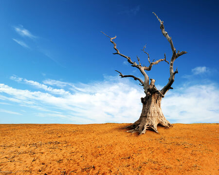 hdri: Large old and dead tree on dry desert land with blue sky and white clouds over horizon. Stock Photo