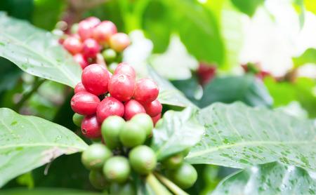 coffee grains: Coffee tree plantation background