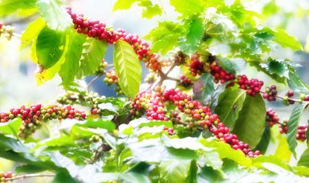 Coffee tree plantation background photo