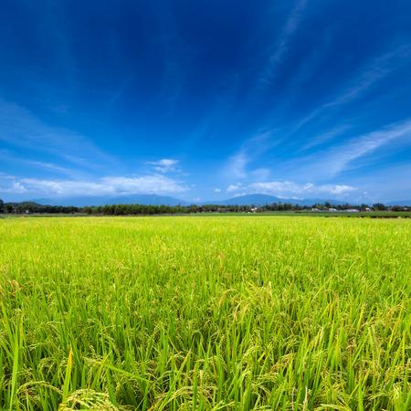 Groene rijstvelden en de blauwe hemel Stockfoto
