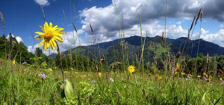 Windflowers on meadow of Carpathian mountains. Alpine nature panorama Stok Fotoğraf