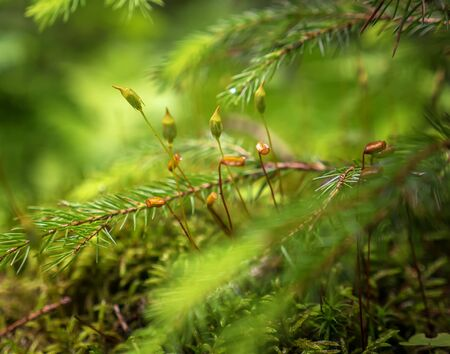 Blossom of moss flowers under spruce tree branch macro view. Carpathian nature