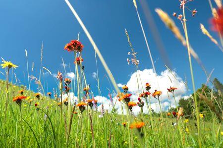 Windflowers of alpine region in Carpathian mountains in western Ukraine