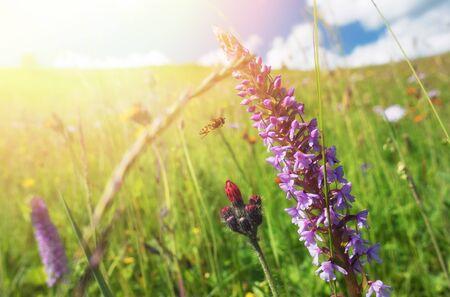 Blooming windflowers under sunshine Stok Fotoğraf