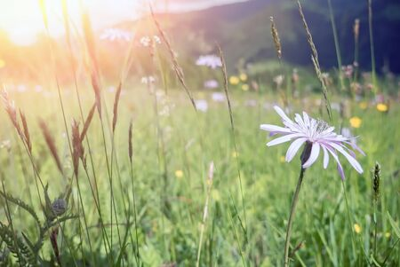 Windflowers under morning sunshine in rural countryside of Carpathian mountains